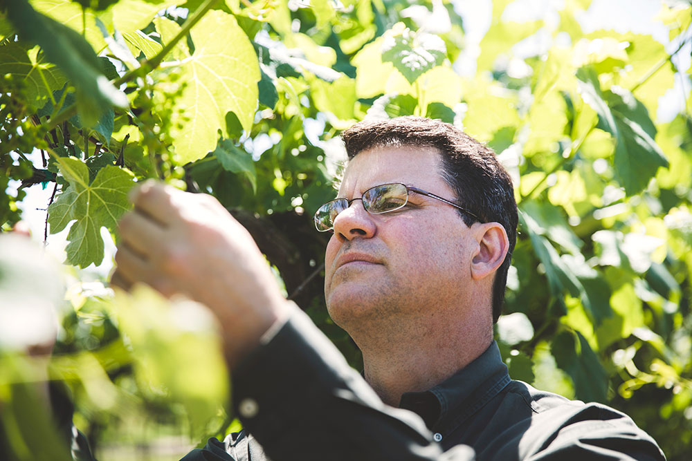 Peter Hofherr analyzing the grape vines - St. James Winery