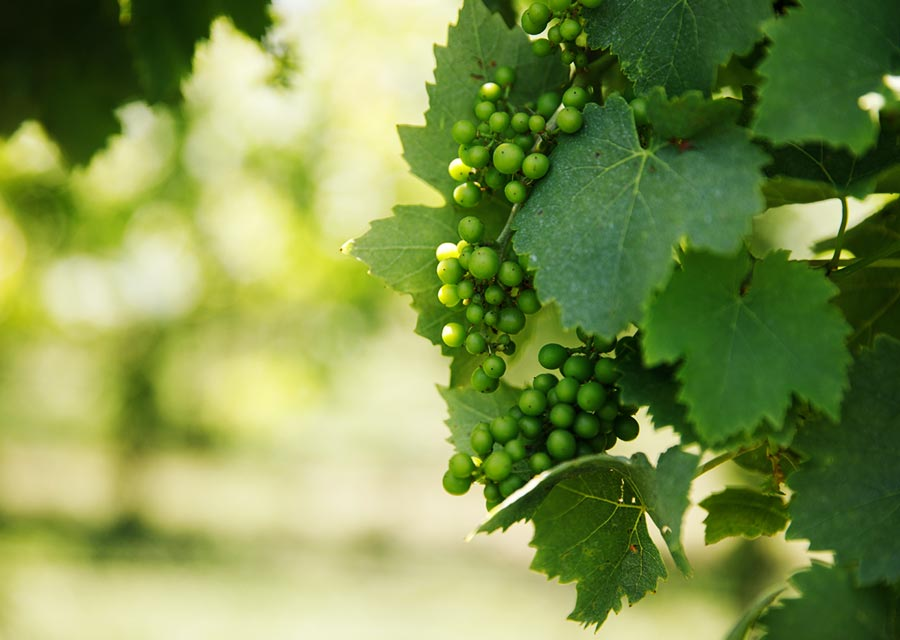 Grapes ripening on vines at St. James Winery - Missouri Wines